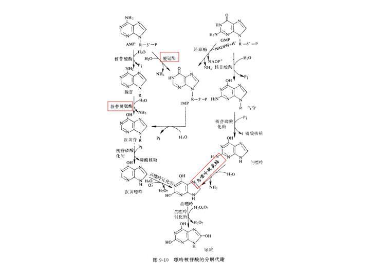 鸟嘌呤脱氨酶