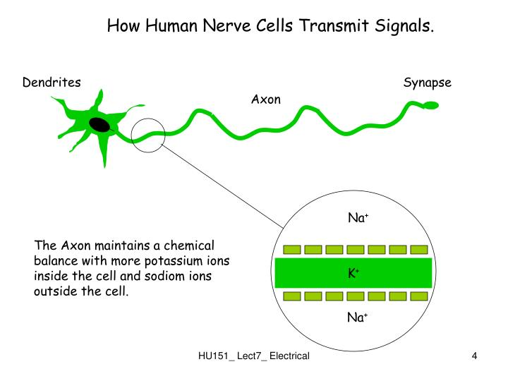 How Human Nerve Cells Transmit Signals.