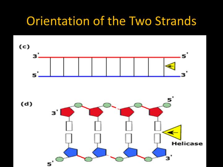 Orientation of the Two Strands