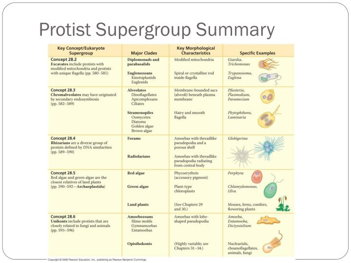 Protist Supergroup Summary