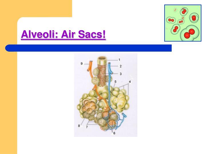Alveoli: Air Sacs!