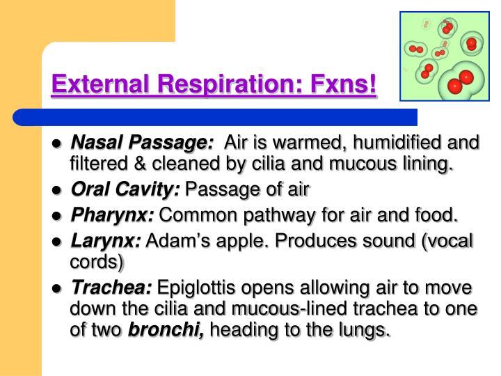External Respiration: Fxns!