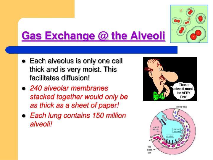 Gas Exchange @ the Alveoli