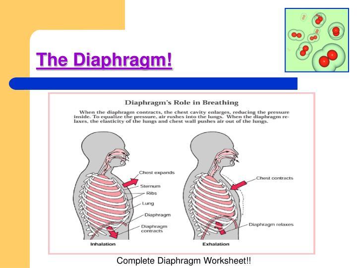 The Diaphragm!