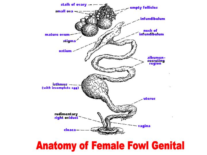 Ppt Physiology Anatomy Of Fowl Reproductive Tract Powerpoint